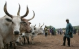 FAO calls for new funding to vaccinate livestock in South Sudan